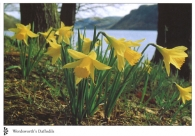 Wordsworth's Daffodils A4 Greetings Cards