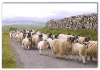 Sheep on Road A5 Greetings Cards
