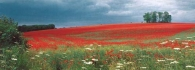Poppy Field postcards