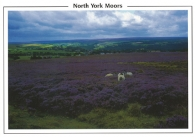 North York Moors (sheep and heather moorland) Postcards